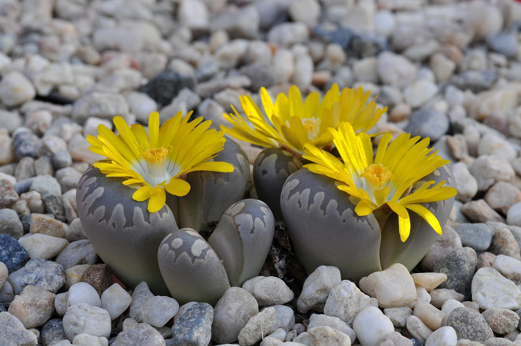 Живые камни: литопсы в скромном горшочке 79